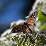 Monarca – Monarch